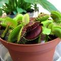 planta carnivora-preparar el foro